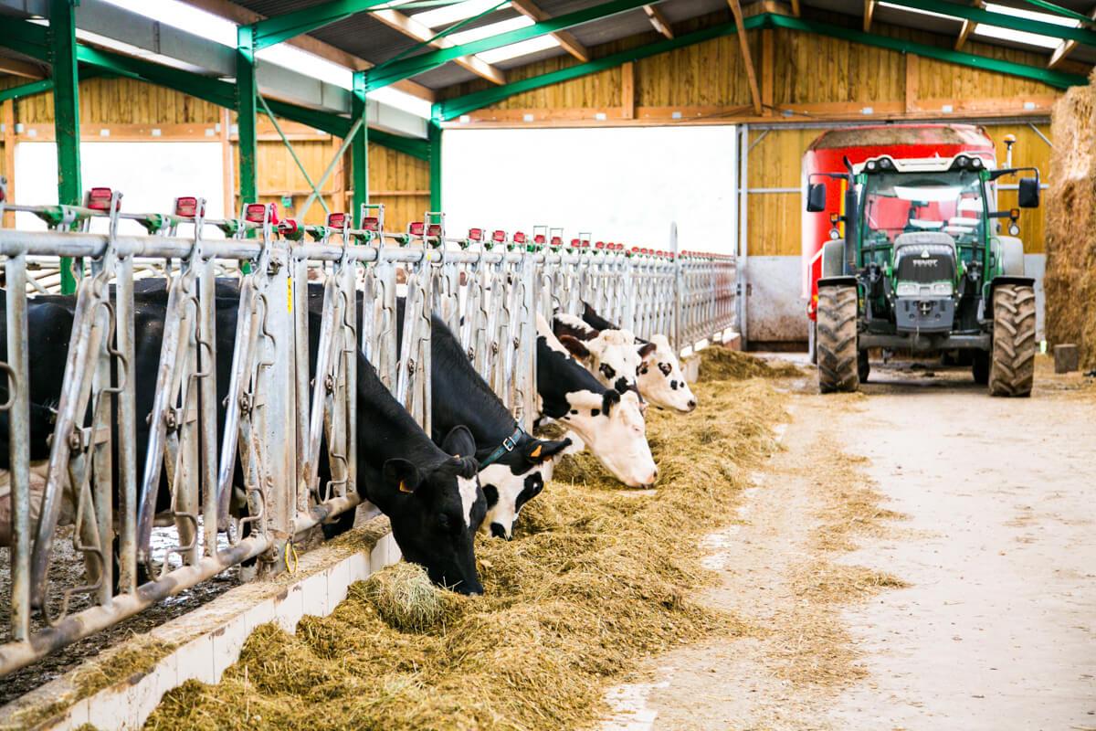 Elevage vache laitière en Normandie - Fromagerie Durand à Camembert