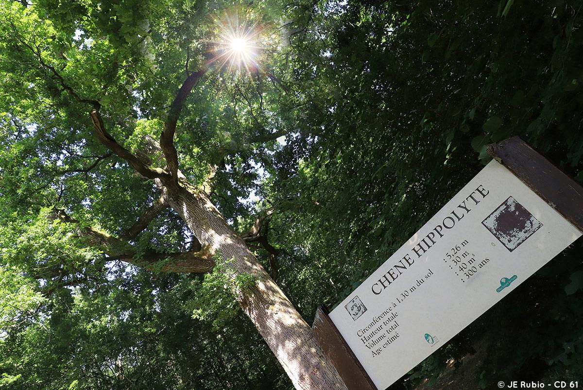 Chêne centenaire à Bagnoles-de-l'Orne