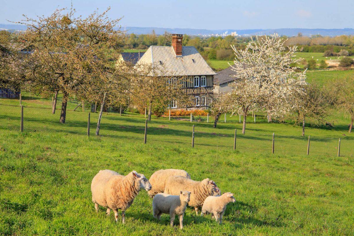 Moutons au Marais Vernier