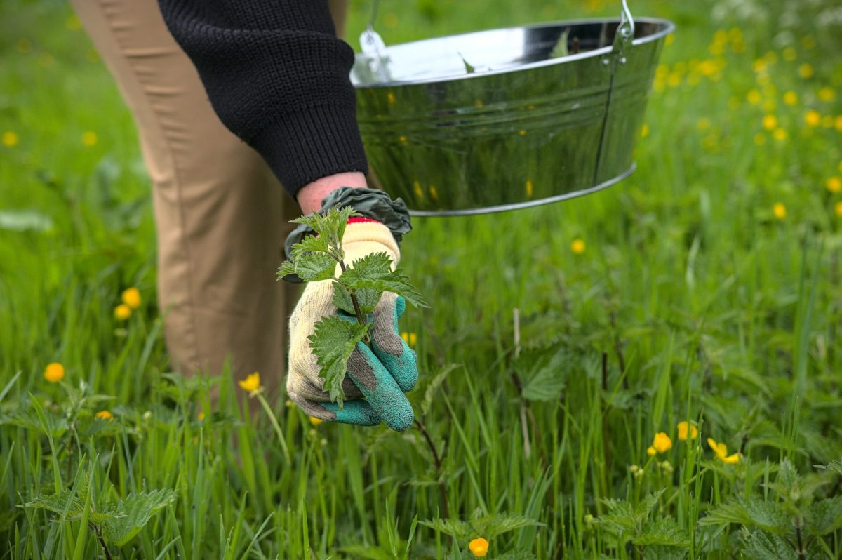 Cueillette des plantes sauvages dans le Pays d'Auge