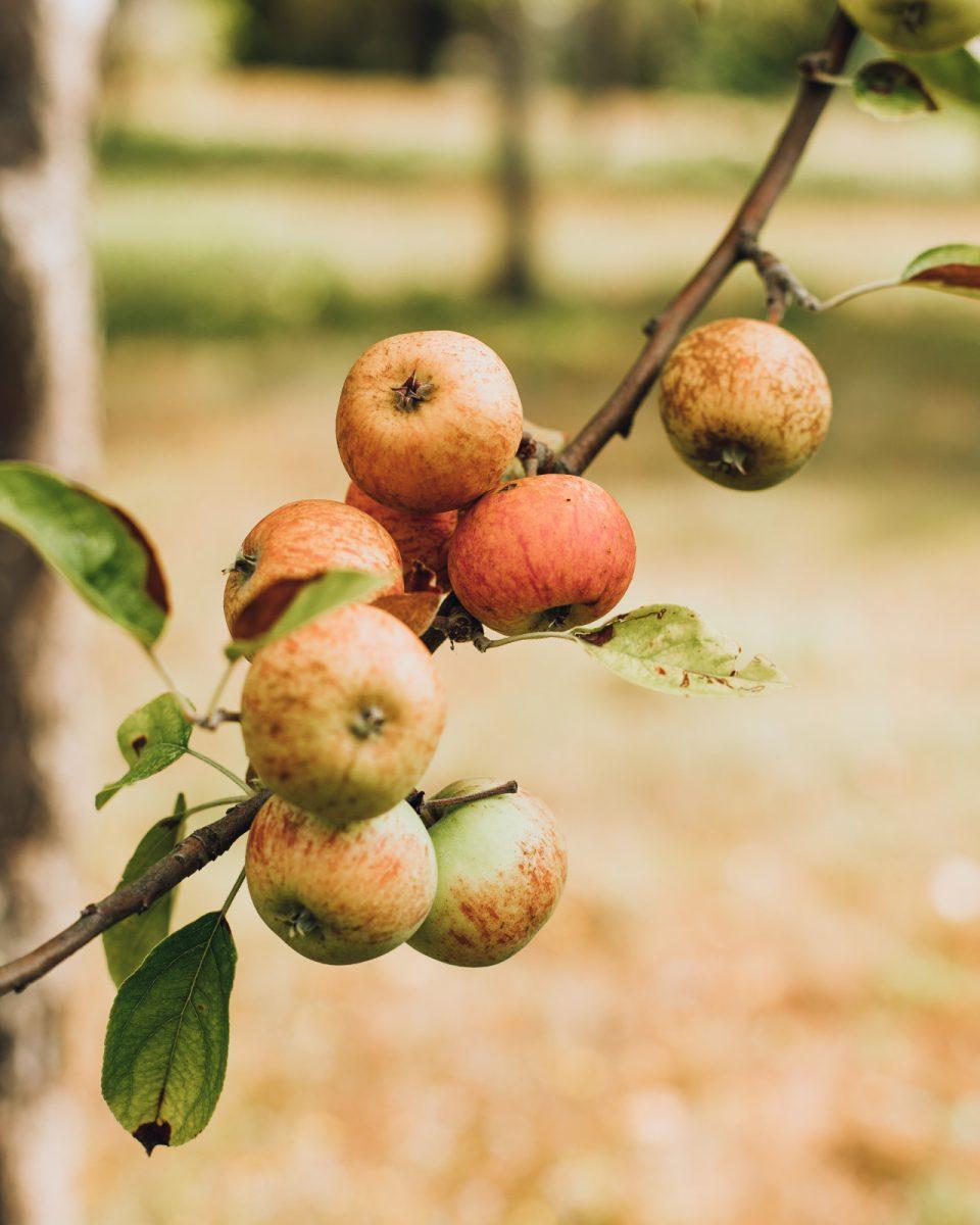 Pomme de la distillerie de Dupont Victor Pontfol